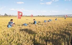 我国试种耐盐碱稻成功 即将大面积推广